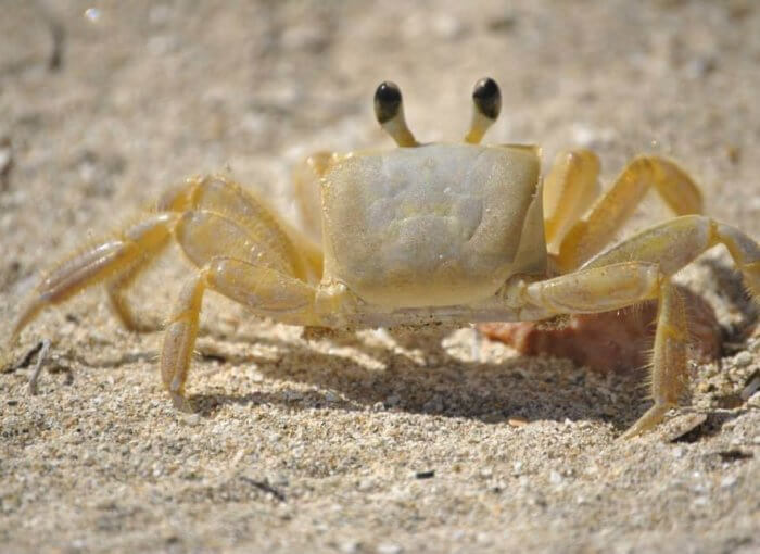 Tiny Yellow Crab