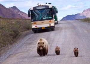 BearsinroadAK